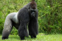 Plaine debout Gorilla Looking Ahead photo stock