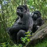 Plaine occidentale Gorilla Family Photographie stock