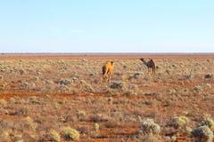 Plaine sauvage de Nullarbor de chameaux, Australie images libres de droits