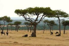 plaines de la réserve de masai au Kenya Images libres de droits