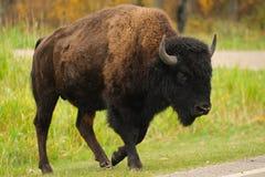 Plains Bison Stock Image