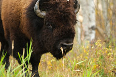Plains Bison Stock Image