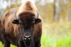 Plains Bison Royalty Free Stock Photos