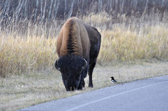 Plains bison with a bird, Elk Island National Park Royalty Free Stock Photography