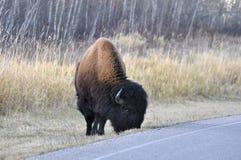 Plains bison, Elk Island National Park Stock Photo