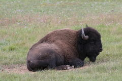 Plains Bison - Grand Canyon Royalty Free Stock Photos