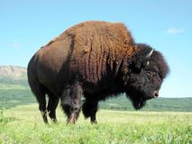 Plains Bison. Observed in Waterton National Park, Alberta,  Canada Royalty Free Stock Images