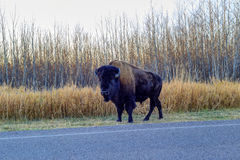 Plains bison on the roadside Stock Image