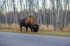Plains bison on the roadside Royalty Free Stock Image