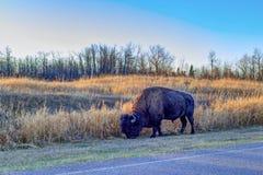 Plains bison on the roadside, Elk Island National Park Stock Image