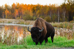 Plains Bison Stock Photos