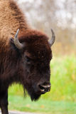 Plains Bison Royalty Free Stock Photo