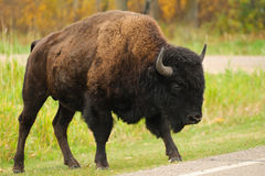 Plains Bison Stock Photo