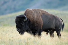 Plains Bison  - Waterton Lakes Nation Royalty Free Stock Images