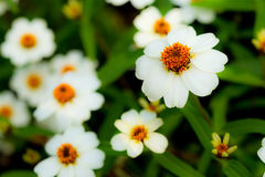 Plains Blackfoot Flowers Royalty Free Stock Photography