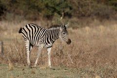 Plains or Burchells zebra, Equus quagga Royalty Free Stock Photos