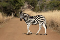 Plains or Burchells zebra, Equus quagga Stock Photos