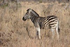 Plains or Burchells zebra, Equus quagga Royalty Free Stock Images