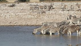 Plains zebras drinking water stock video