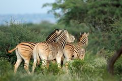 Plains zebras in natural habitat Stock Photography