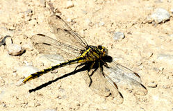 Plains Clubtail Dragonfly on Ground. Close-up of a yellow and black plains clubtail dragonfly, with wings spread, resting on light brown sandy ground stock photo