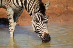 Plains das Zebratrinken Stockfotografie
