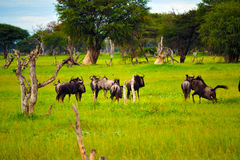 Plains Game. Shot of wildebeest in Hwange National Park Royalty Free Stock Photo