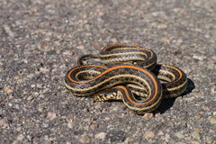Plains garter snake Stock Image