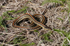 Plains garter snake. The Plains garter snake (Thamnophis radix) is a species of garter snake native to most of the central United States as far north as Canada Royalty Free Stock Images