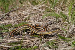 Plains garter snake - Thamnophis radix Royalty Free Stock Photography