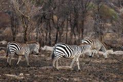 Plains la zebra Fotografie Stock