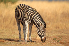 Plains la zebra Immagine Stock