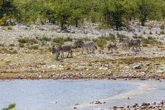 Plains la zebra di Burchells della zebra, quagga di equus Immagine Stock