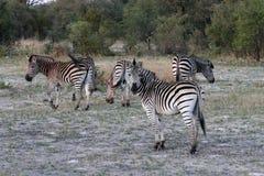 Plains la zebra, la quagga di equus, il parco nazionale di Hwange, Zimbabwe Fotografia Stock