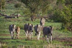 Plains la zebra nel parco nazionale di Kruger, Sudafrica Fotografia Stock