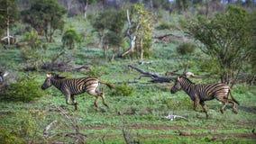 Plains la zebra nel parco nazionale di Kruger, Sudafrica Immagini Stock Libere da Diritti