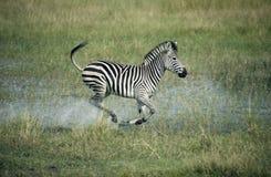 Plains la zebra, quagga di equus Immagini Stock