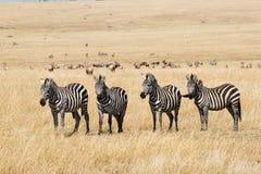 Plains le zebre Immagine Stock