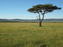 View of Plains tree in Maasai Mara on safari Stock Image
