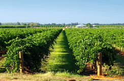Plains Vineyard Stock Images