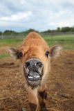 Plains/Wood Bison Cross Calf Stock Photos