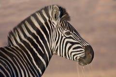 Plains Zebra. Closeup of a Plains Zebra royalty free stock photos