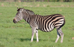 Plains Zebra. In grass field stock photo