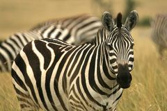 Plains zebra Royalty Free Stock Photos
