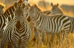 Plains Zebra Stockfotos