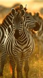 Plains a zebra Foto de Stock Royalty Free
