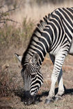 Plains Zebra. Grazing Plains (burchell's) Zebra, Pilanesberg South Africa Royalty Free Stock Photo