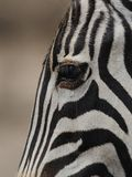 Plains Zebra. This is the eye of a plains zebra, which you can also call common zebra or burchell's zebra Stock Photos