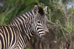 Plains Zebra Royalty Free Stock Images