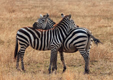 Plains Zebra. (Equus Quagga) Couple, Moremi Ngorongoro Crater, Tanzania Stock Photo